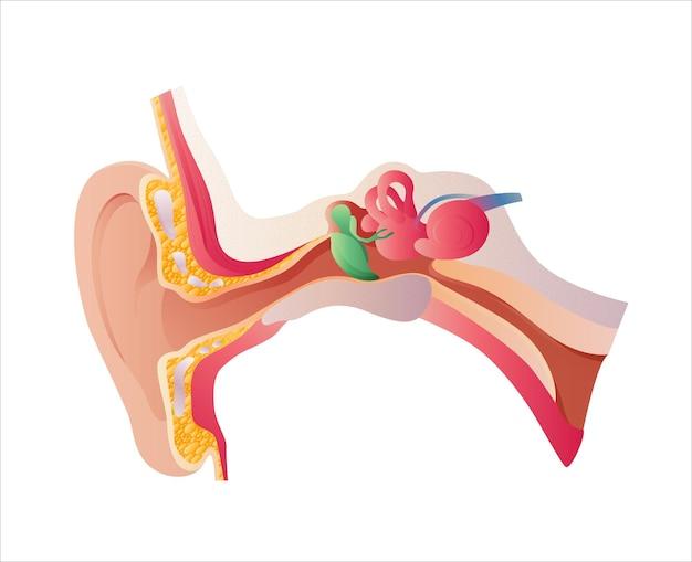 Illustrazione vettoriale di anatomia dell'orecchio umano