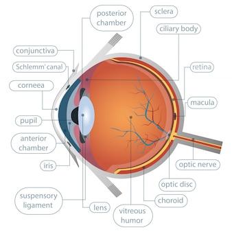 Illustrazione di progettazione di anatomia dell'occhio umano isolata su fondo bianco