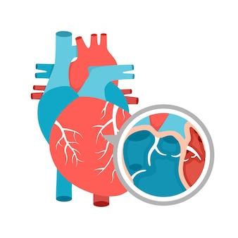 Diagramma educativo del primo piano di anatomia del cuore umano con l'illustrazione del cuore
