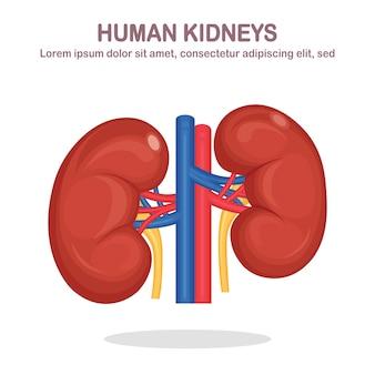 Reni umani con arteria e vena isolati su sfondo bianco. anatomia degli organi interni, medicina. design piatto