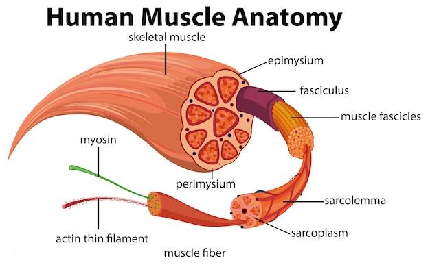 Diagramma di anatomia del muscolo umano