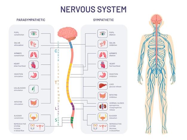 Sistema nervoso umano. anatomia e funzioni dei nervi simpatici e parasimpatici. il midollo spinale controlla il diagramma vettoriale degli organi interni del corpo. illustrazione anatomia biologia nervo