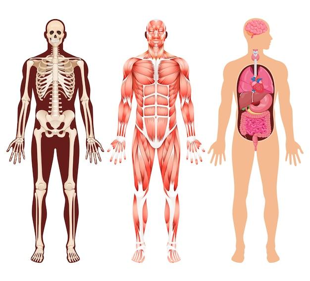 Scheletro dell'organo umano e illustrazioni del sistema muscolare