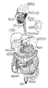 Schizzo piatto di organi umani in bianco e nero