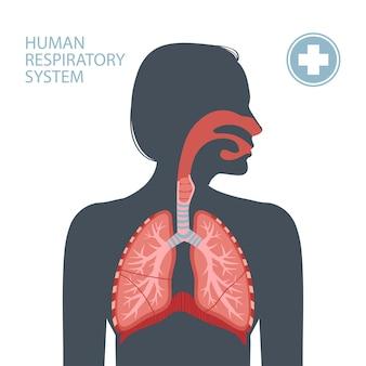Sistema respiratorio umano.
