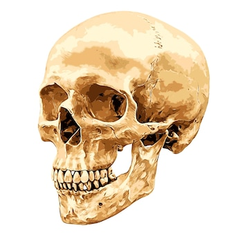 Cranio umano inclinato con un angolo di 45 gradi isolato su sfondo bianco, illustrazione vettoriale