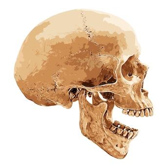 Cranio umano in aspetto laterale su sfondo bianco, illustrazione vettoriale