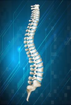Schema della colonna vertebrale umana sul blu