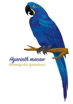Uccello del pappagallo dell'ara del giacinto
