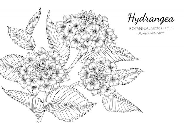 Illustrazione botanica disegnata a mano del fiore e della foglia dell'ortensia con la linea arte su bianco