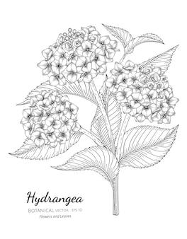 Illustrazione botanica disegnata a mano del fiore e della foglia dell'ortensia.