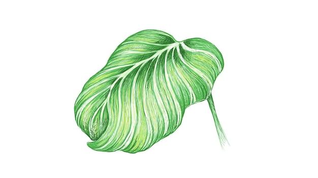 Illustrazione di calathea orbifolia o pianta di pavone