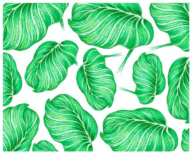 Illustrazione di calathea orbifolia o sfondo di piante di pavone