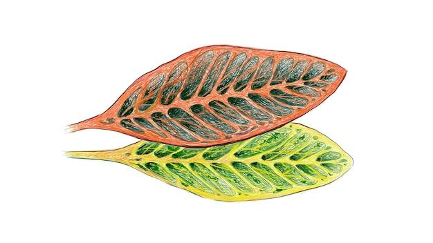 Illustrazione della pianta di croton con foglie gialle e verdi