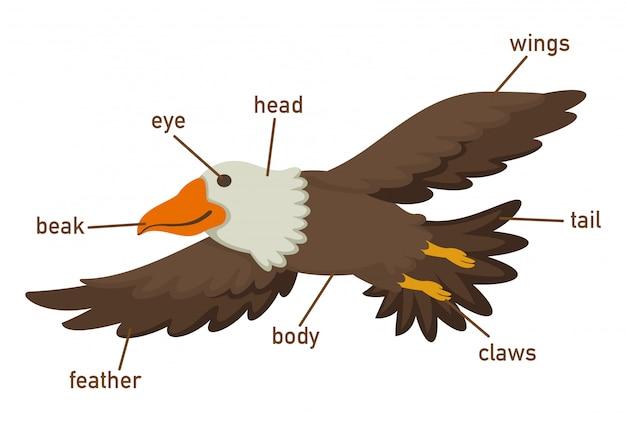 Illustrazione della parte di vocabolario delle aquile del corpo