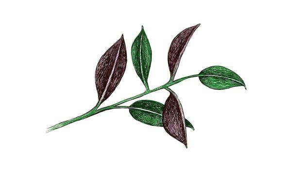 Illustrazione di ficus elastica o pianta di gomma