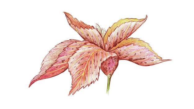 Illustrazione fresh acalypha wilkesiana o jacobs coat plant