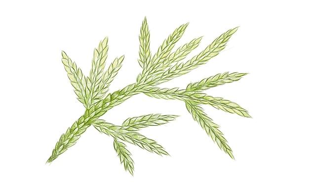 Illustrazione delle foglie fresche di selaginella flabellata su bianco