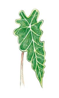 Illustrazione di golden pothos o ivy arum plant