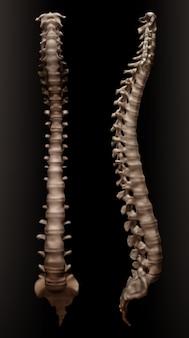 Illustrazione della colonna vertebrale umana o della colonna vertebrale, vista frontale e laterale destra, isolato su sfondo nero