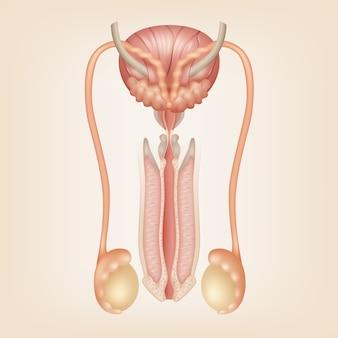 Illustrazione del sistema riproduttivo maschile