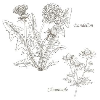 Illustrazione delle erbe mediche dente di leone, camomilla.