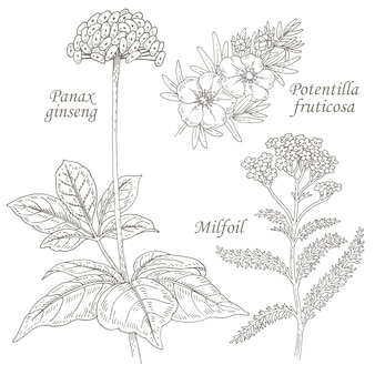 Illustrazione di erbe medicinali ginseng, potentilla, achillea.