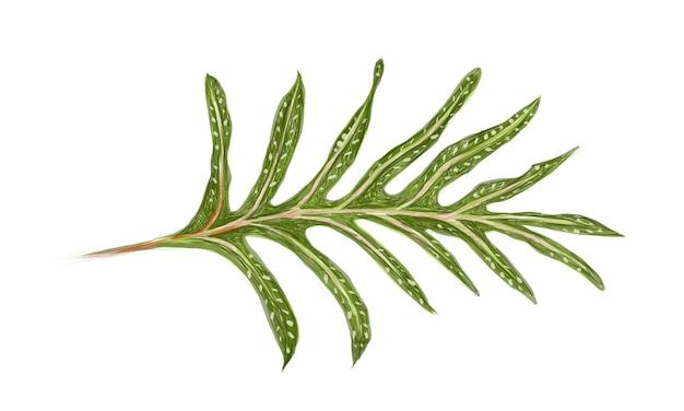 Illustrazione di phymatosorus scolopendria o monarch fern