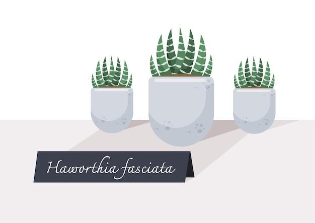 Illustrazione della piccola pianta in vaso dell'interno. albero di haworthia fasciata sul tavolo con segno.