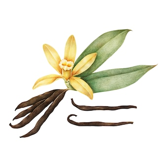 Illustrazione di vaniglia Vettore Premium
