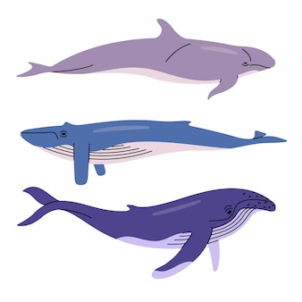 Illustrazione delle balene. falso balena assassina, balenottera azzurra, megattera. sfondo bianco.