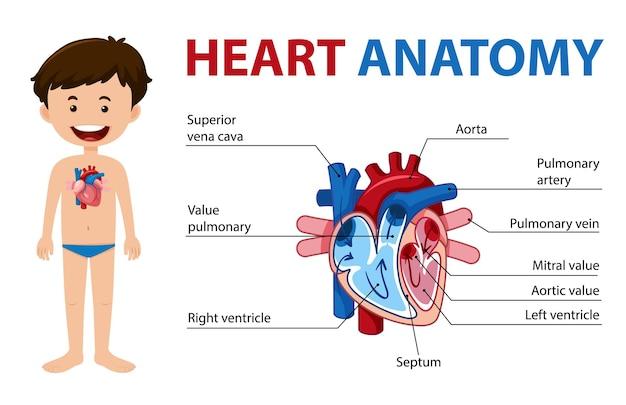 Poster informativo del diagramma del cuore umano