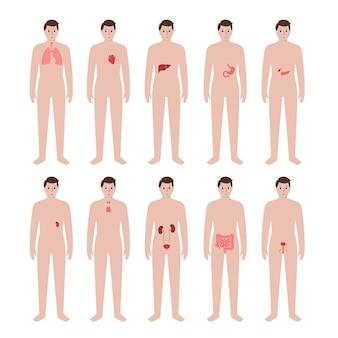 Organi interni nel corpo di un uomo. stomaco, cuore, reni e altri organi in silhouette maschile.