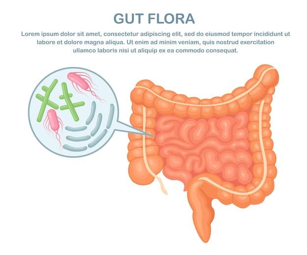 Intestino, flora intestinale su bianco. tratto digerente con batteri, virus. colon, intestino