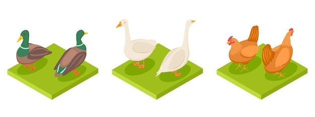 Vettore di pollame isometrico