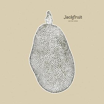 Il jackfruit, noto anche come albero di jack, disegnare a mano schizzo vettoriale.