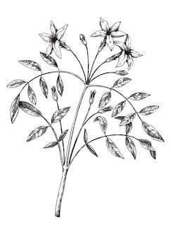 Pianta botanica di gelsomino con foglie e fiori