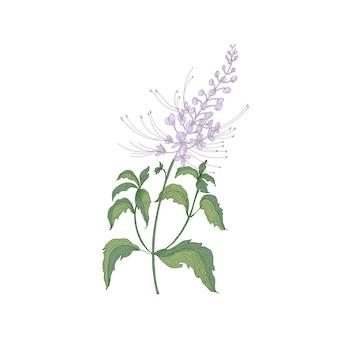 Fiori teneri del tè di java o infiorescenze, steli e foglie isolati su bianco