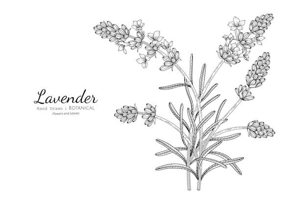 Illustrazione botanica disegnata a mano di fiori e foglie di lavanda con line art.