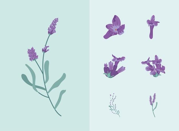 Set di fiori di lavanda
