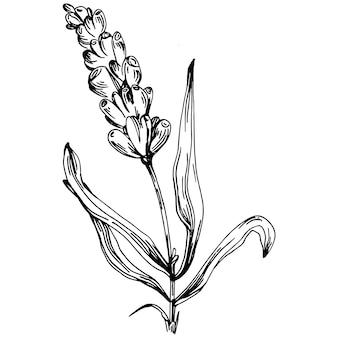 Illustrazione di schizzo isolato lavanda. elemento disegnato a mano per erba nuziale, pianta o monogramma con foglie eleganti per invito salva il design della carta data. verde botanico rustico alla moda.