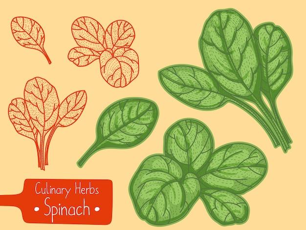 Foglie di erbe aromatiche spinaci