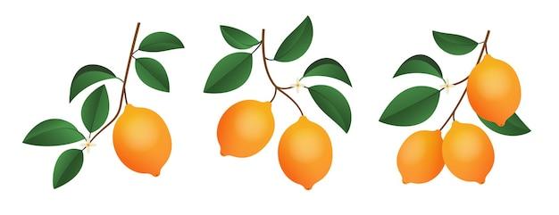 Rami di limoni isolati su sfondo bianco elementi di piante per il design