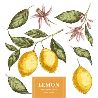 Pacchetto disegnato a mano delle illustrazioni di vettore dei limoni