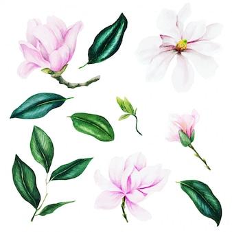 Fiori e foglie rosa-chiaro della magnolia, insieme dell'acquerello