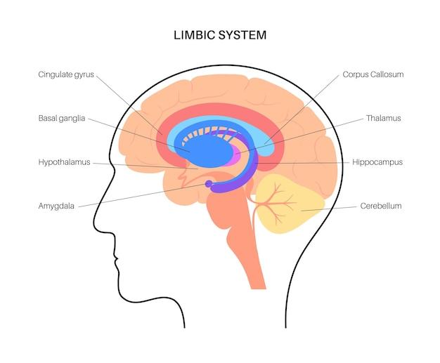 Concetto di sistema limbico e anatomia del cervello umano. illustrazione vettoriale di corteccia cerebrale e cervelletto