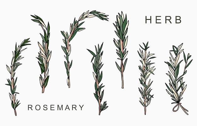 Linea collezione di erbe aromatiche al rosmarino.