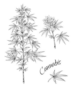 Schizzo lineare di foglie e coni del ramo di marijuana