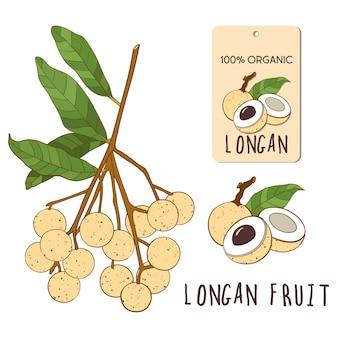 Longan set colorato. illustrazione disegnata a mano della frutta vietnamita tropicale. ramo, composizione ed etichetta.