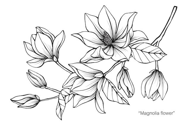 Illustrazione del disegno del fiore della magnolia